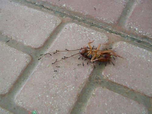 Муравьи и таракан