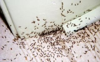 Эффективные способы для самостоятельного уничтожения муравьев