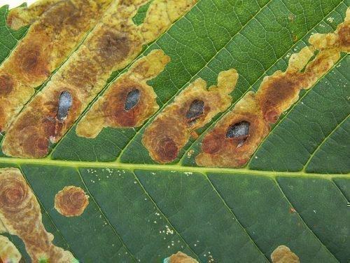Тополиная моль погрызла лист
