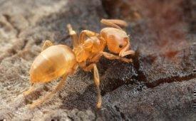Желтые муравьи, способы избавления