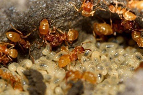 Желтый муравей и личинки