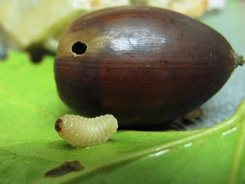 Личинка долгоносика
