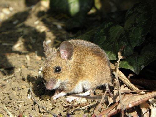 Мышь в лесу