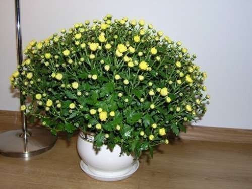 Хризантема из семян в домашних условиях