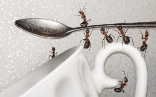 Как можно избавиться от нашествия муравьев на кухне