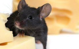 Способы борьбы с мышами в частном доме