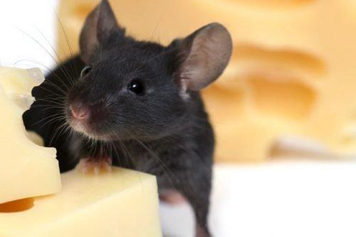 Мышь в доме