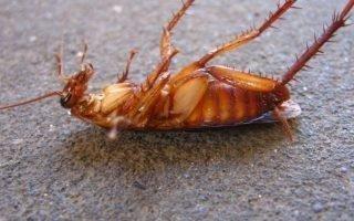 Как уничтожить тараканов быстро и эффективно
