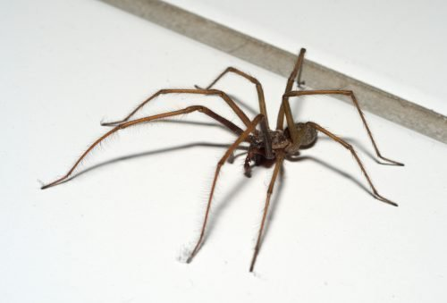 Чердачный паук