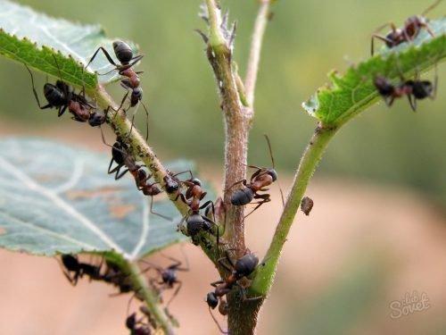 Муравьи вредят растениям
