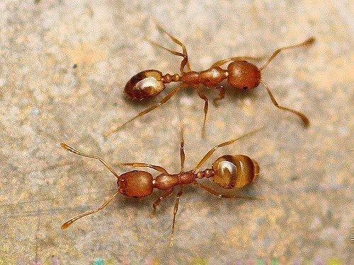 Пара муравьев