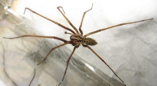 Eratigena atrica на паутине