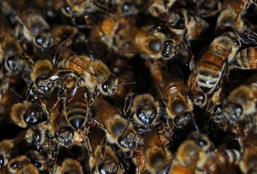 Колония пчел