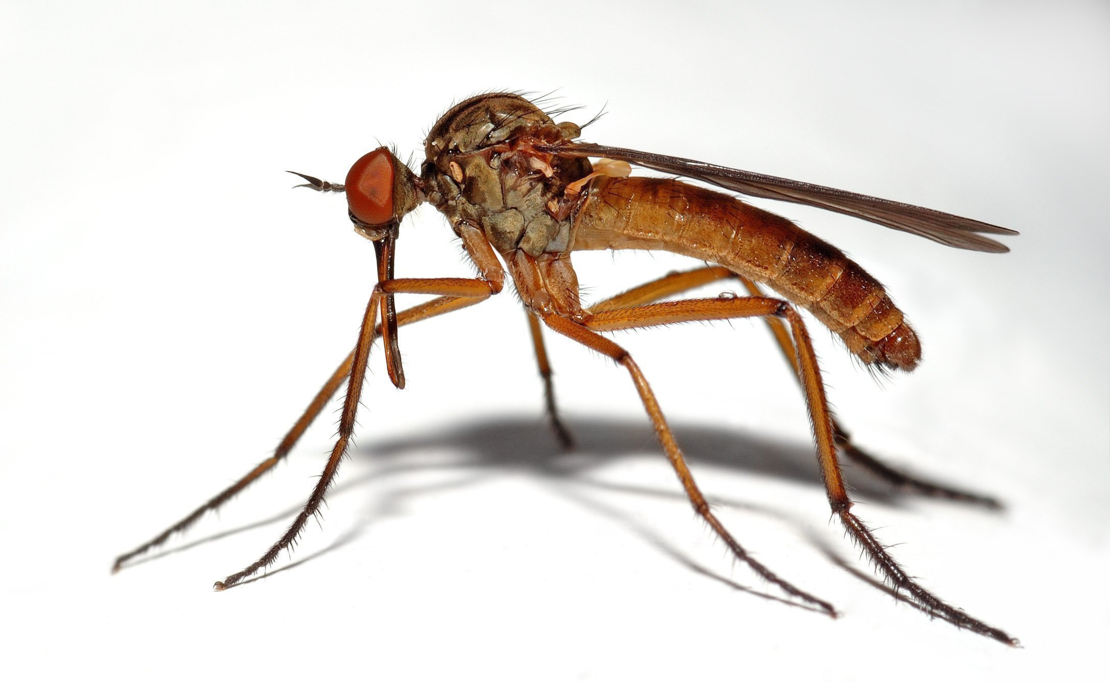 insect mosquitoes