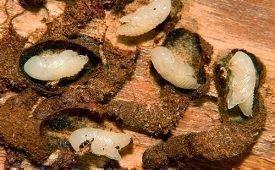 Как можно вывести жука короеда из деревянного дома