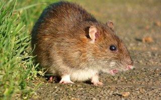 Как избавиться от крыс частном доме?