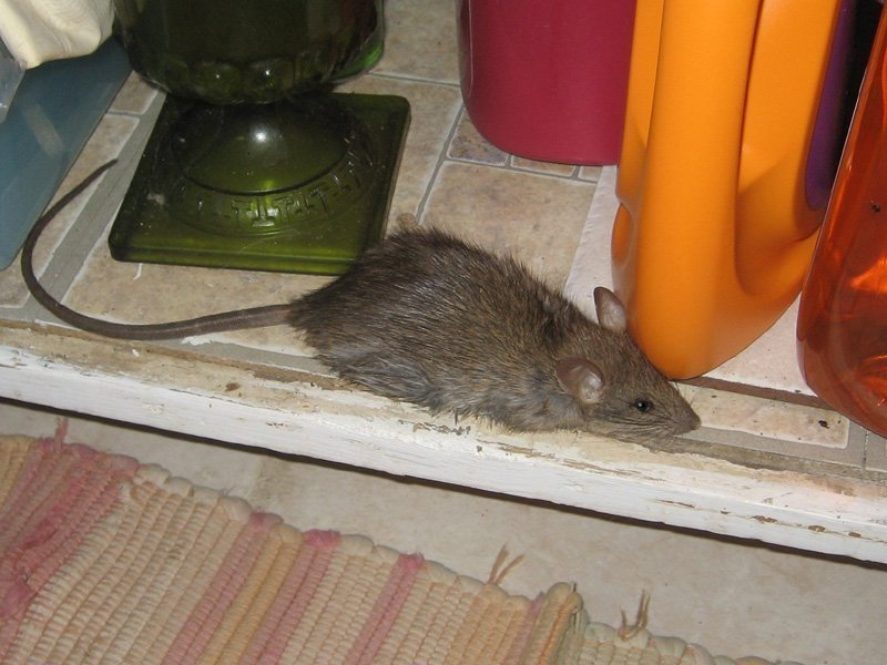 Крыса на полке
