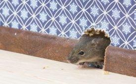 Что же делать если в квартире завелись крысы