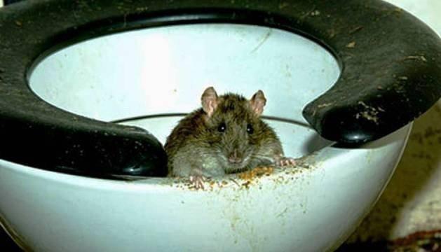 Крыса в унитазе