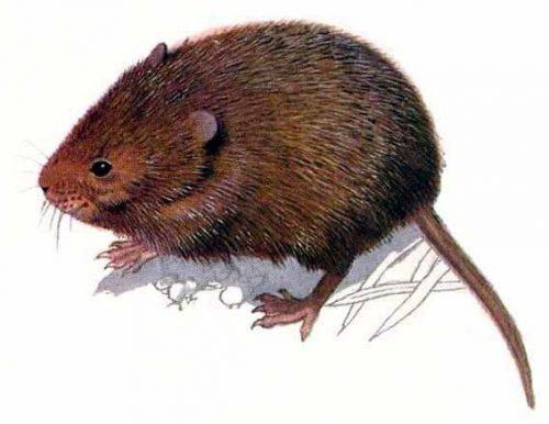 Крыса земляная