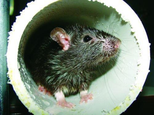 Крысиная нора