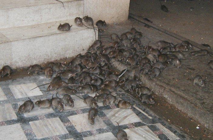 Крысы в подвале