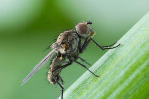 Личинки луковой мухи: как бороться народными методами