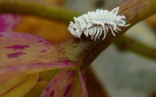 Почему мучнистый червец появляется на орхидее и как избавиться от него?