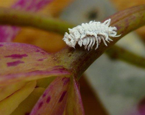 Мучнистый червец на орхидее