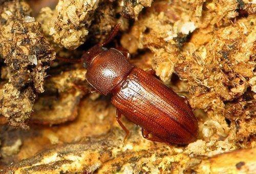 Мучной хрущак жук