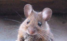Как вести борьбу с мышами народными методами
