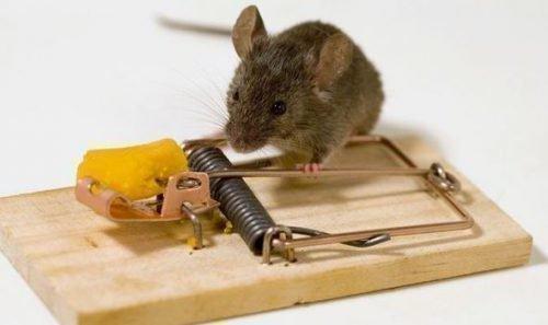 Мышеловка и мышь