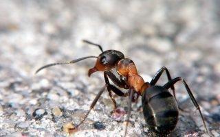 О лесных муравьях в доме