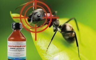 Как избавиться от муравьев дома, используя нашатырный спирт