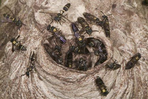 Пчелиное гнездо в стволе дерева