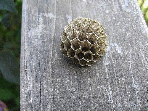 Пустое гнездо шершня