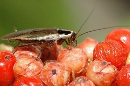Рыжий таракан на еде