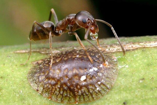 Щитовки и муравьи