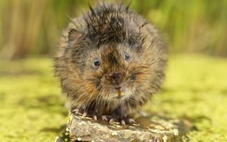 Как избавиться от земляных крыс на даче