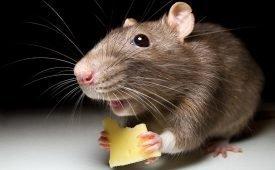 Характеристика химических, биологических и электрических средств от мышей