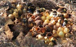 Как безопасно уничтожить гнездо шмеля