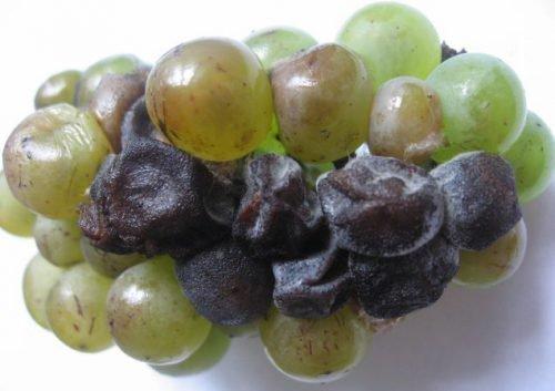 Гнилые ягоды винограда