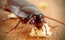 Чем любят питаться тараканы в квартире