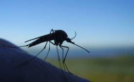 Сколько живут комары обыкновенные в привычной среде