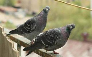Как уничтожить голубей