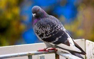 Как эффективно избавиться от голубей подручными методами