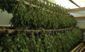 Как сушить и хранить березовые веники
