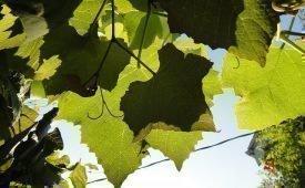 Заготовка виноградных листьев
